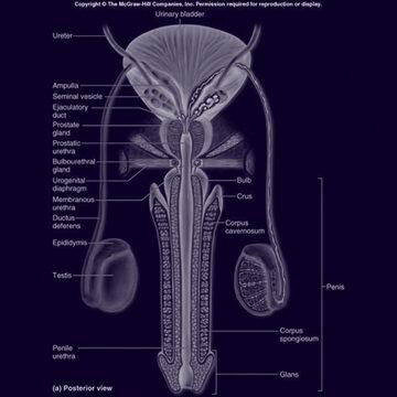 Férfi Reproduktív Rendszer