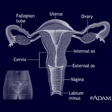 Női Reproduktív Rendszer
